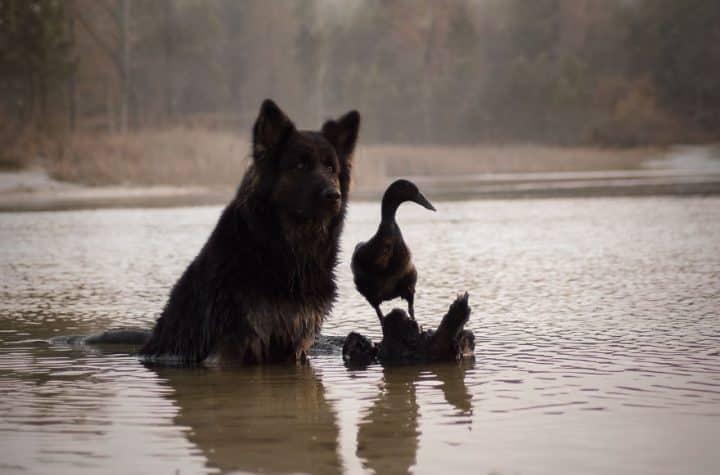 canard chien 11