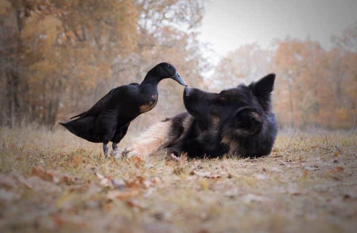 canard chien 4