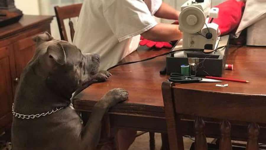 Après avoir déchiré son coussin en forme de cœur, ce jeune pitbull assiste à son opération