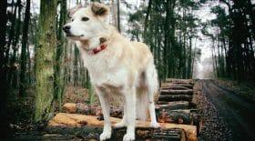 Interdiction de promener son chien sans laisse en forêt