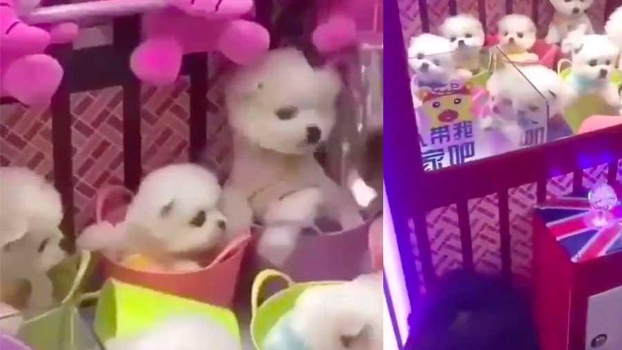 Des chiens vivants peuvent être remportés dans cette machine attrape-peluche