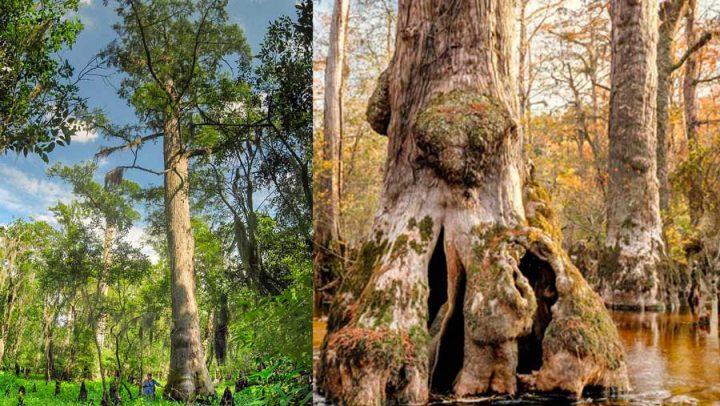 cyprès chauve plus vieil arbre au monde