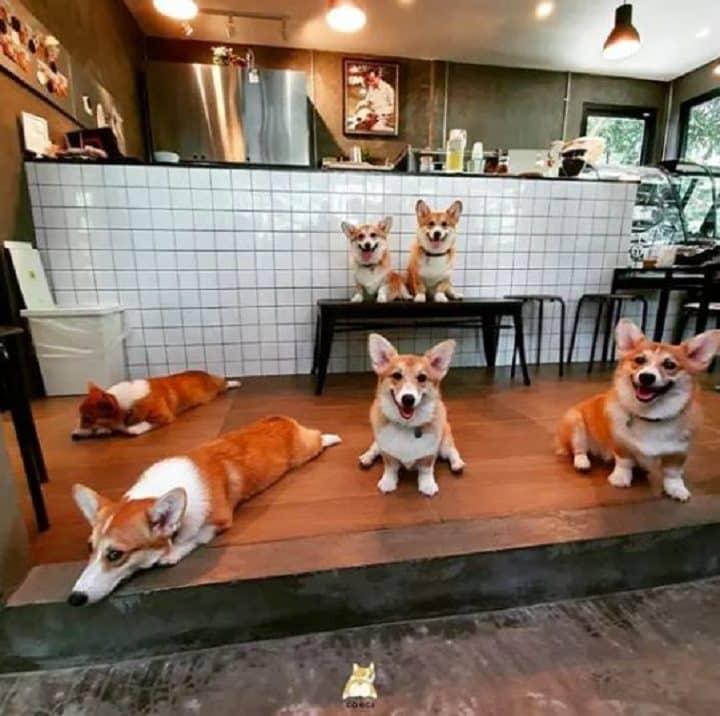 dans-ce-restaurant-thailandais-sont-les-corgis-qui-vous-accueillent-pour-vous-servir-le-cafe