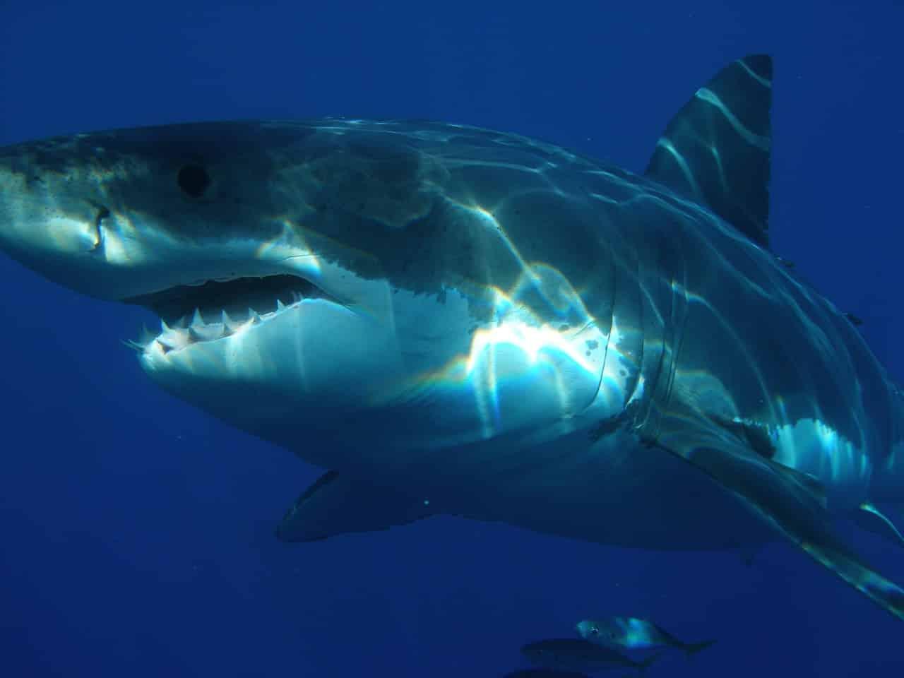 Deux pêcheurs tombent sur un grand requin blanc de plus de 6 m et rentrent bredouille