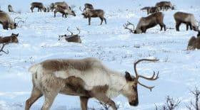 en-arctique-les-rennes-sont-obligees-de-manger-des-algues-a-cause-du-rechauffement-climatique