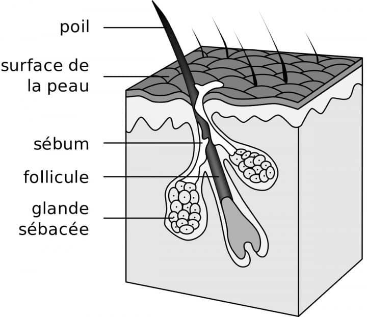 glandes sébacées