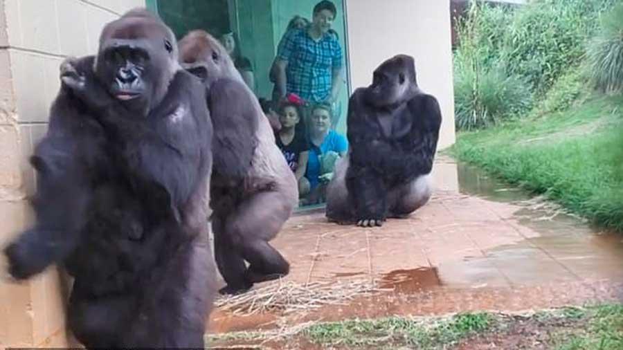Une famille de gorilles veut échapper à la pluie ! On dirait des humains !