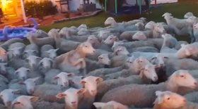 invasion de moutons dans le jardin