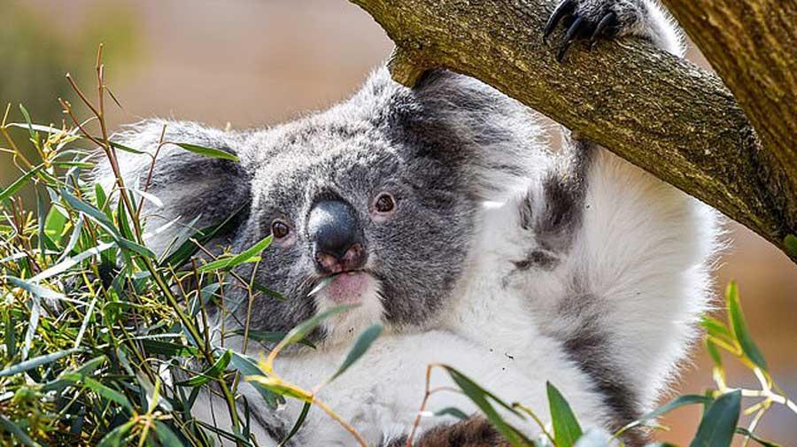 Les koalas sont en voie de disparition! Personne ne veut les voir disparaitre!