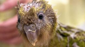 perroquet kakapo opération cerveau