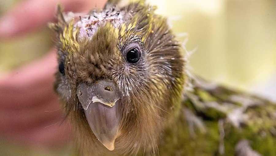 Ce perroquet kakapo est le premier oiseau au monde à se faire opérer du cerveau