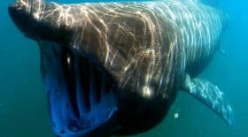 Un immense requin pèlerin aperçu près des côtes irlandaises