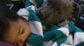 Un chien sauve la vie d'un bébé de 7 mois