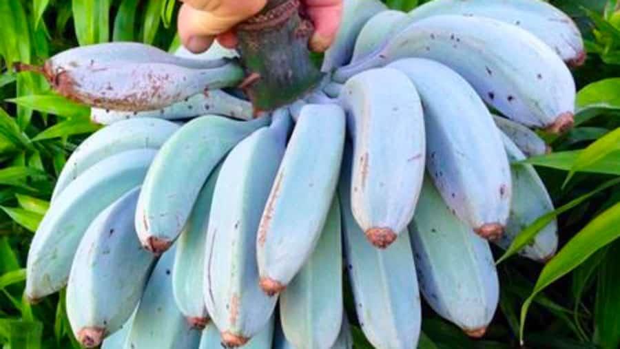 Découvrez les bananes bleues de Java, au goût de glace à la vanille