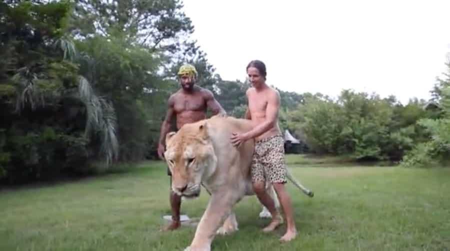 Ce Tarzan présente son ligre de 350 kilos : l'un des plus gros félins au monde