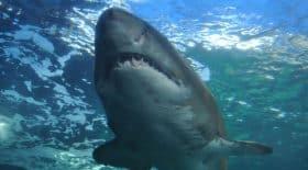 Une nouvelle attaque de requin en Caroline du nord