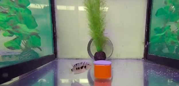 Comme les humains, les poissons ont des chagrins d'amour (VIDEO)