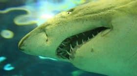 Un énorme requin rôde autour d'une nageuse