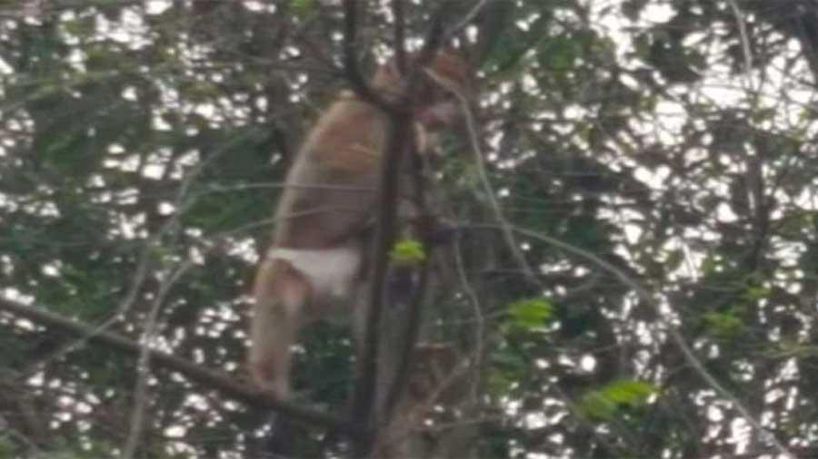 Un singe avec un Pampers aperçu dans un arbre en Belgique