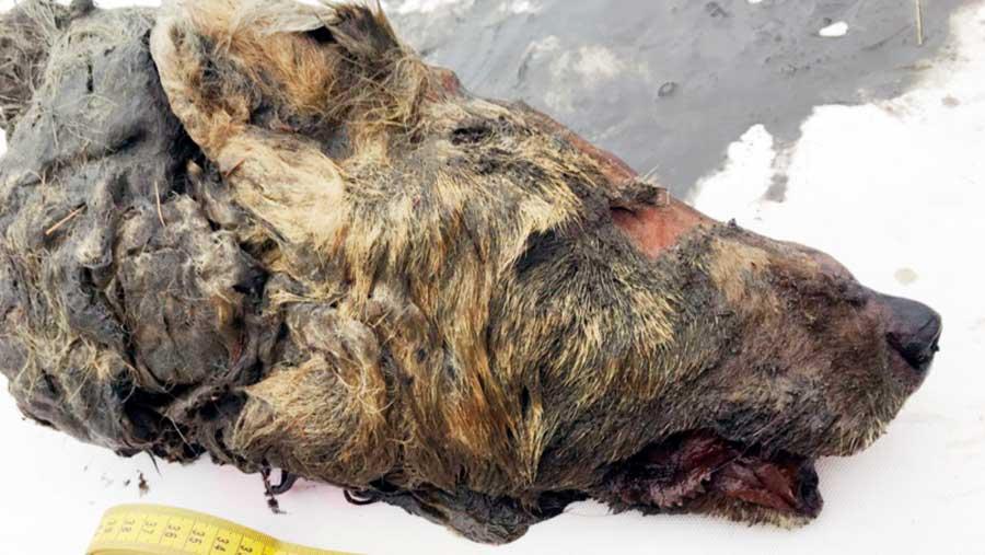 Une tête de loup datant de 40000 ans retrouvée intacte congelée dans de la glace