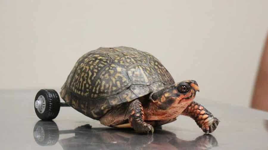Une tortue sans pattes arrières se fait installer une prothèse à roulettes en LEGO