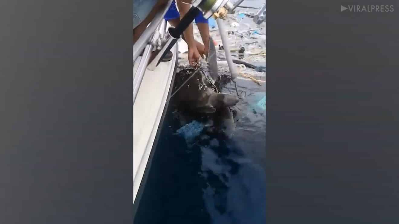 Ces pêcheurs ont l'œil! Ils ont sauvé deux tortues marines coincées dans un amas de déchets!