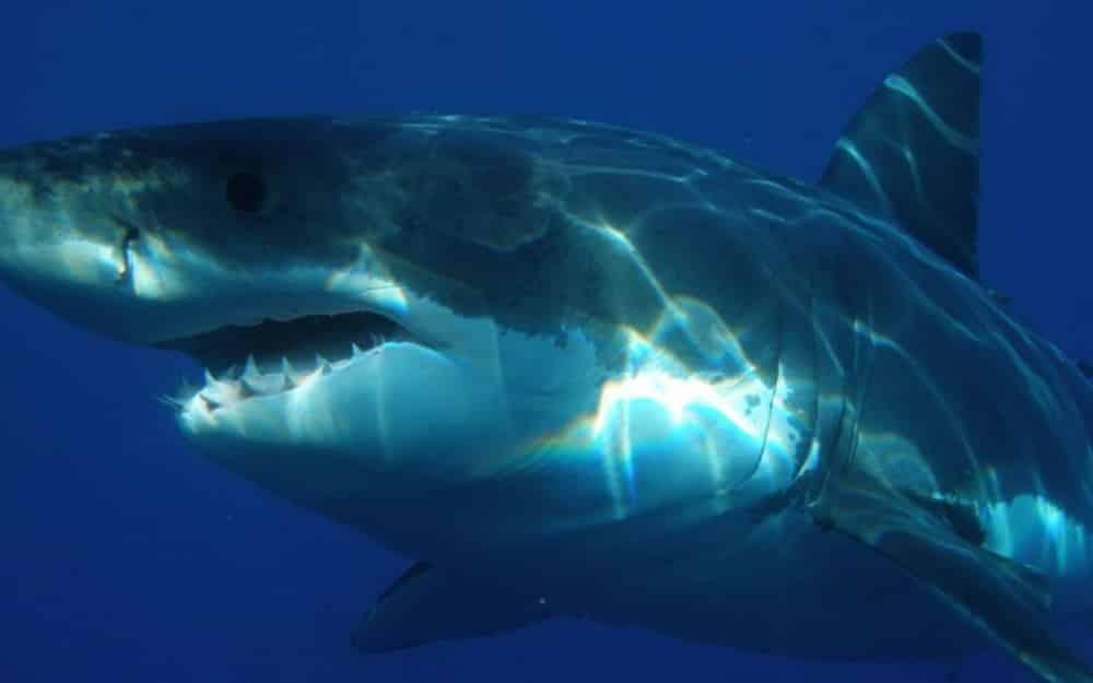 Alerte ! Un requin de 2 mètres inquiète la population