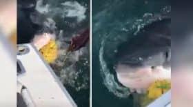 une-journee-de-peche-tranquille-et-soudain-un-grand-requin-blanc