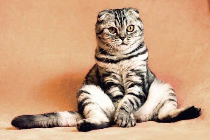 chats miaulement animaux