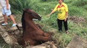 cheval coincé en Thaïlande