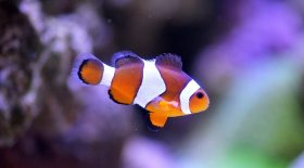 poissons clowns animaux