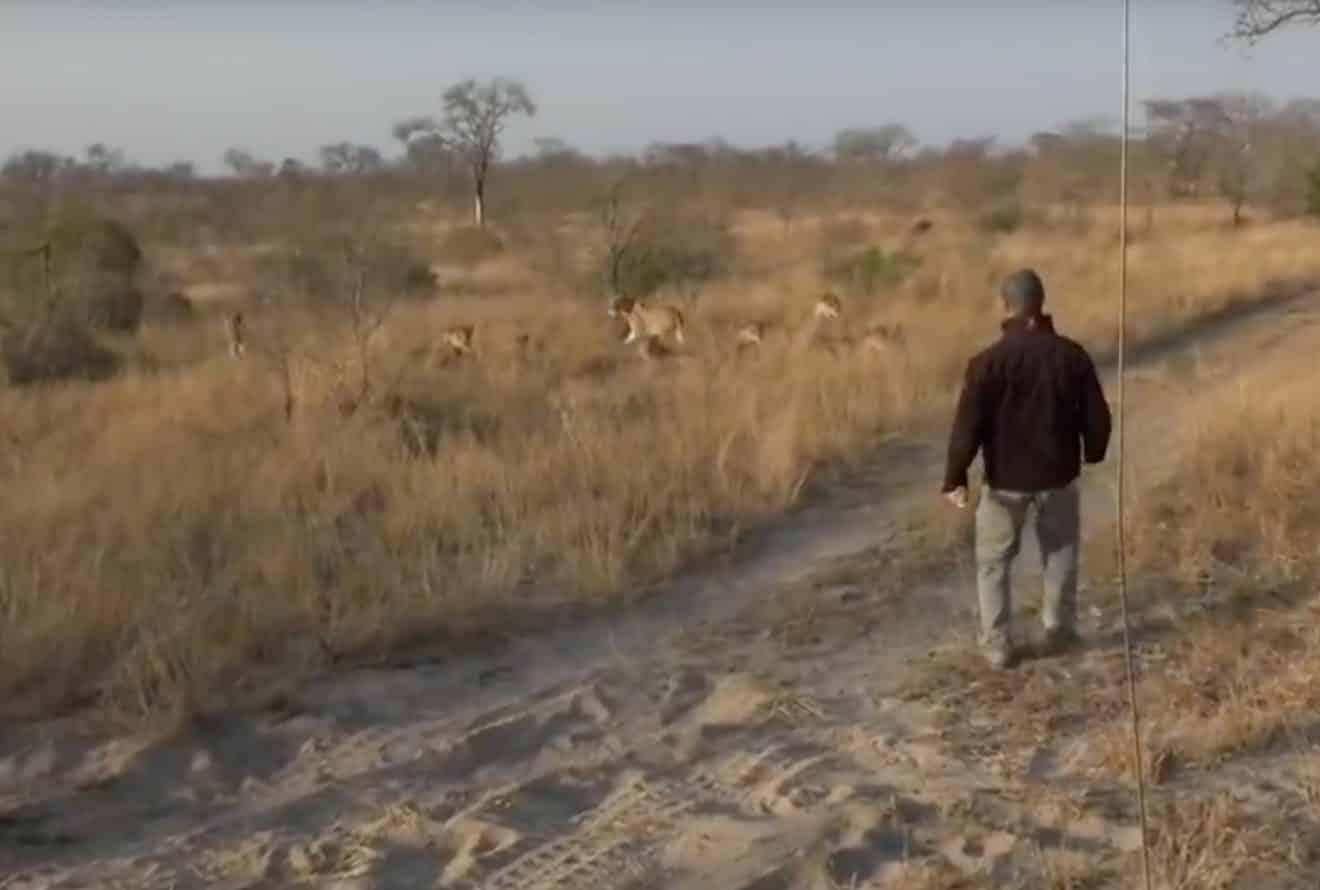Lors d'un safari, cet homme se fait surprendre par une meute de lions
