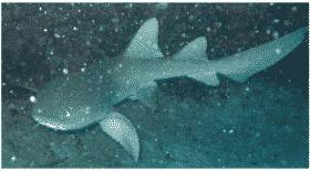 Un requin nourrice heurte un surfeur