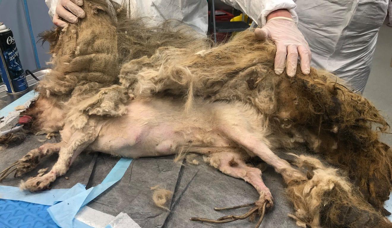 Ce petit chien retrouvé dans un état critique avait 4kg de poils et 17 centimètres d'ongles ! (vidéo)