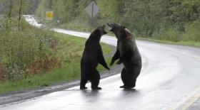 grizzlis qui se battent