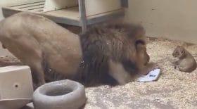 La magnifique réaction de ce lion face à son bébé