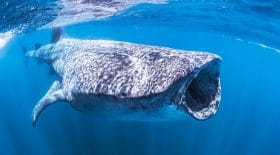 Un requin baleine aperçu dans la baie de Dubaï