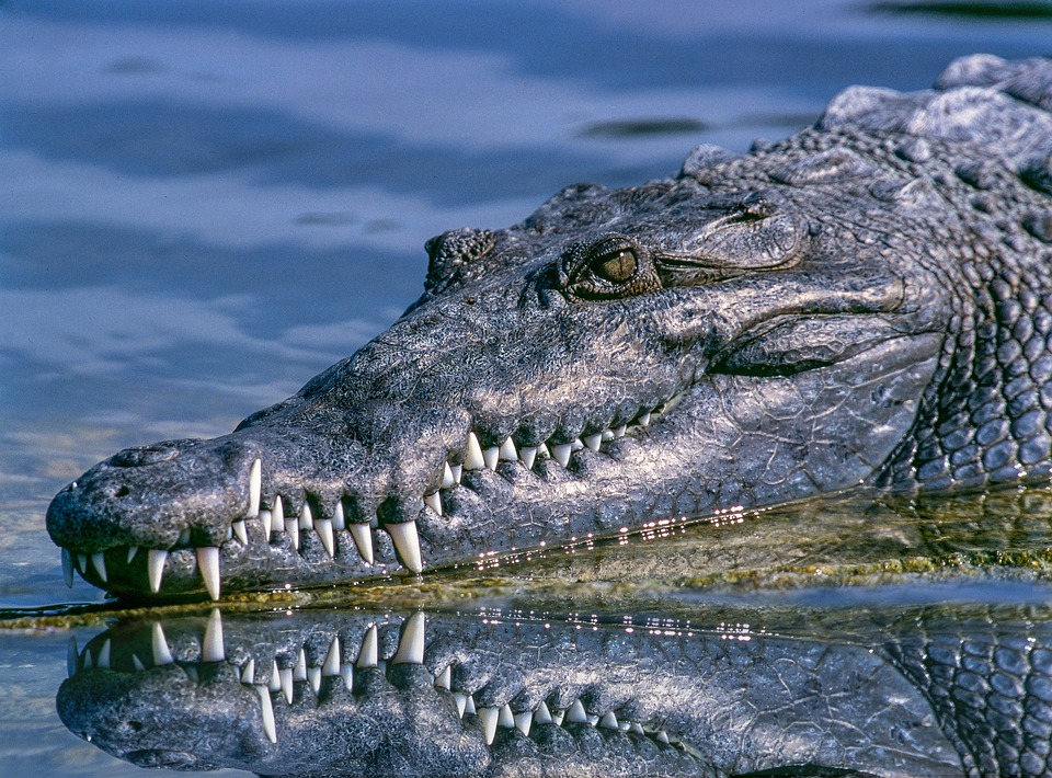 Deux américains arrêtés pour avoir fait boire de la bière à un alligator, une idée de génie…