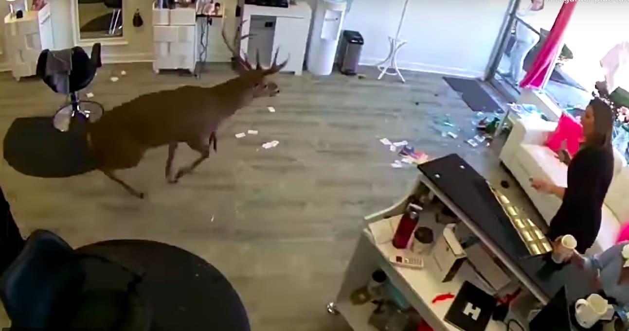 Un cerf rentre dans un salon de coiffure et sème la panique (vidéo)