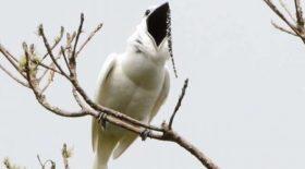 Découvre l'oiseau le plus bruyant du monde !