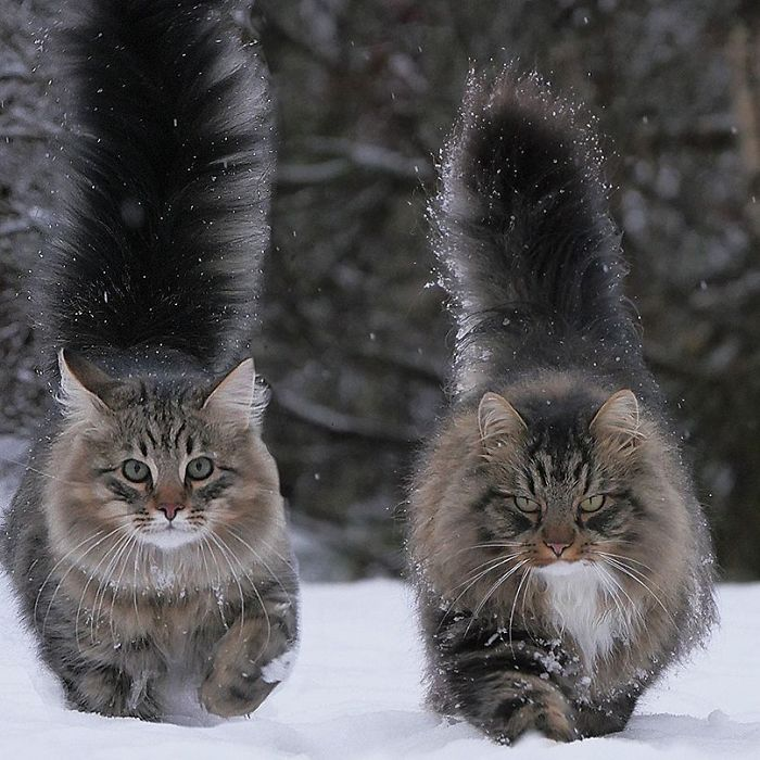 Chats fluffy 2