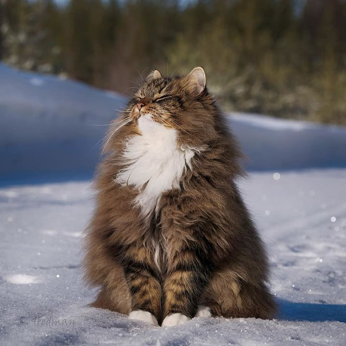Chats fluffy 3