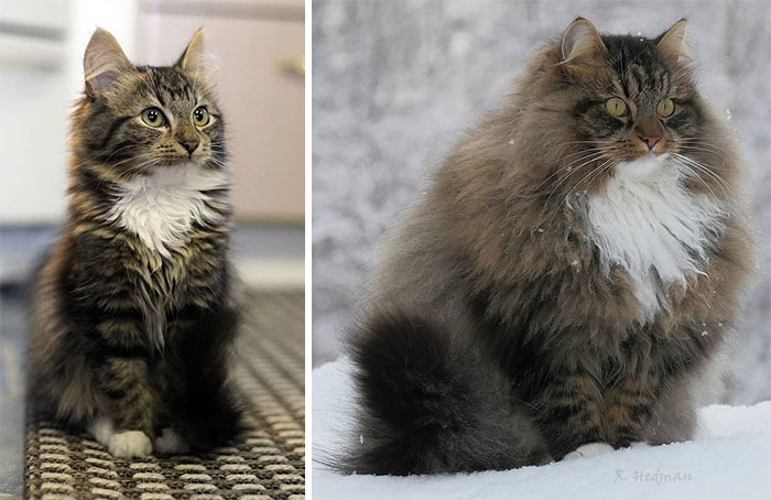 Chats fluffy 4