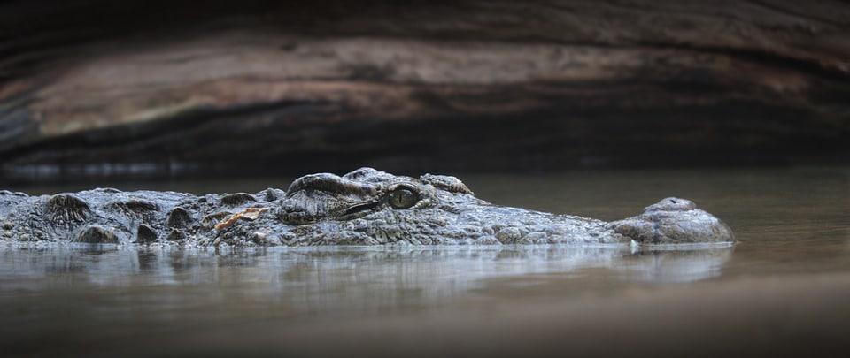 Au Japon, on retrouve plus de 330 pièces dans le ventre d'un alligator mort