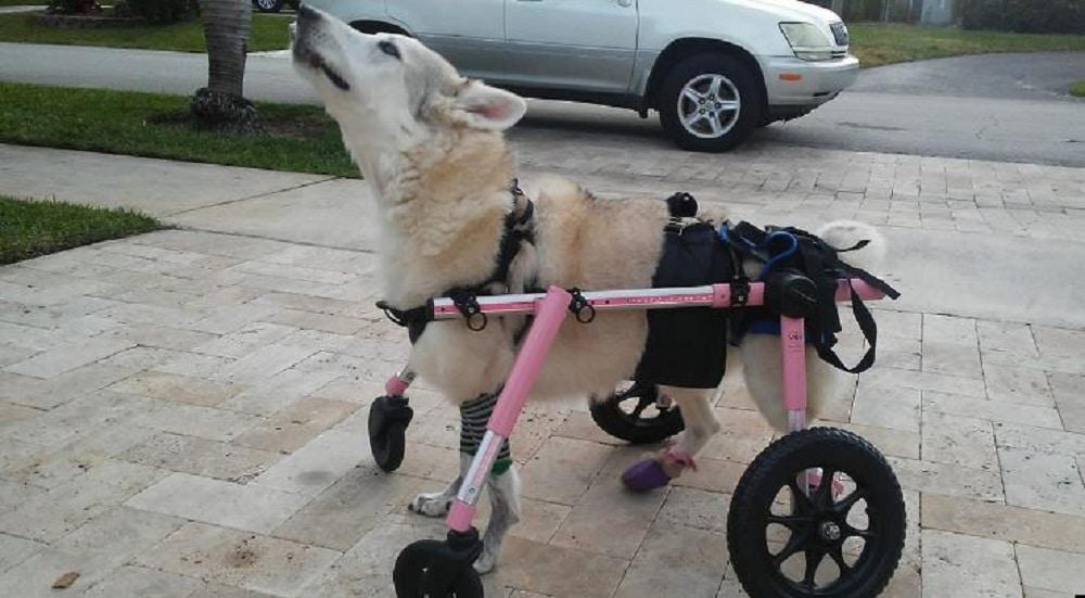 Elle va faire les courses avec sa chienne handicapée mais quand elle arrive sur le parking… elle a le coeur brisé !