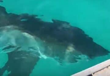 les-pecheurs-font-la-rencontre-terrible-dun-requin-blanc-plus-gros-que-leur-bateau