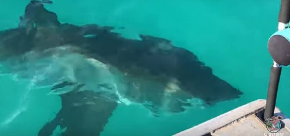 Les pêcheurs font la rencontre terrible d'un requin blanc plus gros que leur bateau (vidéo)