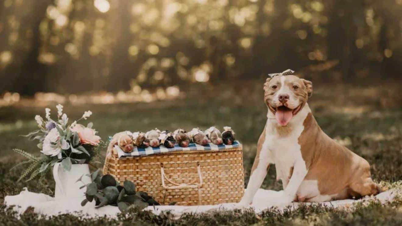 Un pitbull abandonné pose fièrement à côté de sa portée de 8 chiots