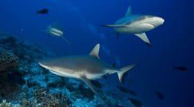 Le sauvetage d'un chiot par son maître entouré de requins dans les fonds marins