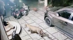 Un chien échappe à une attaque de léopard
